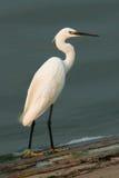 Little Egret (Egretta garzetta). Looking for food Royalty Free Stock Image
