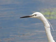 Little Egret, Egretta garzetta Royalty Free Stock Photos