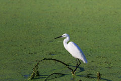 Little egret (Egretta garzetta) Stock Photo