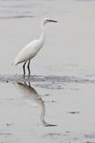Little egret (egretta garzetta) Stock Image