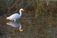 Little egret (Egretta garzetta) Royalty Free Stock Photo