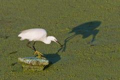 Little egret (Egretta garzetta) Stock Images