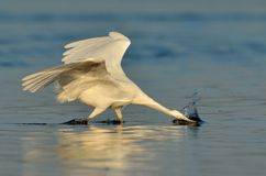 Little egret (egretta garzetta) royalty free stock photo