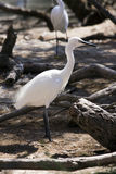 Little egret (Egretta garzetta). Little egret in Camargue, France stock images