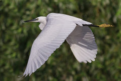 Little egret (Egretta garzetta) Royalty Free Stock Image