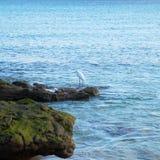 Little Egret , Egretta garzetta Royalty Free Stock Image