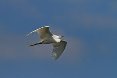 Little egret (egretta garzetta) Stock Images