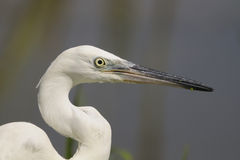 Little Egret (Egretta garzetta) Stock Photos