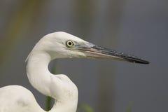 Little Egret (Egretta garzetta) Stock Photos