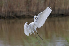 Little Egret(Egretta Garzetta). Little Egret lands in the canes royalty free stock photo