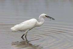 Little Egret(Egretta Garzetta). Little Egret hunting in the river Royalty Free Stock Photography