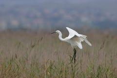 Little Egret(Egretta Garzetta). Little Egret fly over the canes Stock Photos