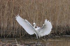 Little Egret(Egretta Garzetta). Little Egret lands to the river Royalty Free Stock Image