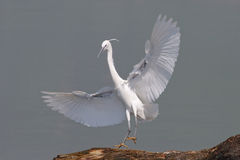 Little Egret(Egretta Garzetta). Little egret barrel to a tree royalty free stock photos