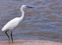 Free Little Egret (Egretta Garzetta) Royalty Free Stock Photo - 41554445
