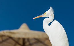 Little Egret - Egretta garzetta Stock Images