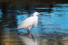 Little Egret (Egretta garzetta) Royalty Free Stock Images