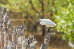 The Little Egret catch on the bamboo and looking for prey Stock Photography