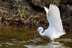 Little egret (Egretta Garzetta)  catching fish Royalty Free Stock Image