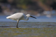 Little egret/Egretta garzetta. Stock Photos