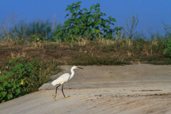 Little egret (Egretta garzetta) Stock Photography