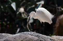 Little Egret. (Egretta Garzetta) eating fish Stock Photo