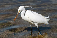 Little Egret (Egretta Garzetta) in Egypt Stock Images