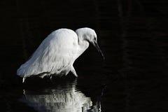 A Little Egret (Egretta garzetta) fishing in dark water. Royalty Free Stock Photo