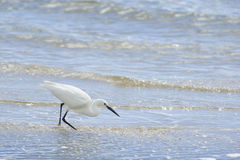 Little Egret (Egretta garzetta) fishing on the estuary Stock Images
