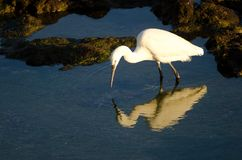 Little egret Egretta garzetta fishing. stock image