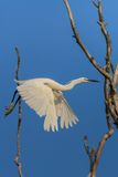 Little egret (Egretta garzetta) Stock Photography