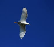 Little egret, egretta garzetta Royalty Free Stock Images