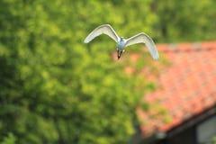 Little egret Stock Photography