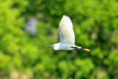 Little egret Royalty Free Stock Photos
