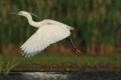 Little Egret Egretta Garzetta flying Stock Photos