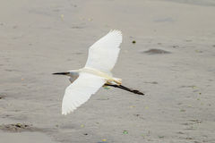 The Little Egret (Egretta garzetta) flying Stock Photo