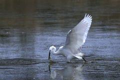 Little egret Egretta garzetta Stock Image