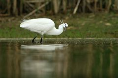 Little Egret Egretta Garzetta hunting Stock Photography