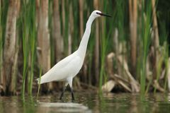 Little Egret Egretta Garzetta hunting Royalty Free Stock Photography