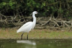 Little Egret Egretta Garzetta hunting Royalty Free Stock Photo