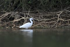 Little Egret Egretta Garzetta hunting Stock Photo