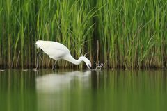 Little Egret Egretta Garzetta hunting Royalty Free Stock Images