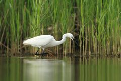 Little Egret Egretta Garzetta hunting Stock Photos