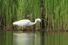 Little Egret Egretta Garzetta hunting. In the natural enviroment, pond stock photos