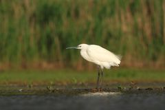 Little Egret Egretta Garzetta hunting Royalty Free Stock Image