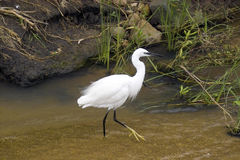Little egret (Egretta garzetta) Royalty Free Stock Photos