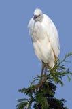 Great white egret (Ardea alba) Stock Photos