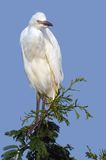 Great white egret (Ardea alba) royalty free stock image
