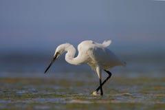 Little egret/Egretta garzetta. Royalty Free Stock Photography