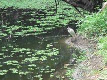 Little egret (Egretta garzetta) looking for food Royalty Free Stock Photos